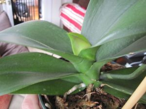 New leaf on blooming Phal