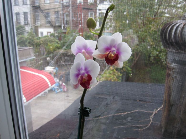 White and pink orchid in bloom