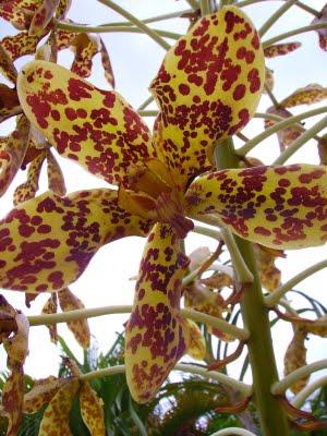 Grammatophyllum speciosum flower