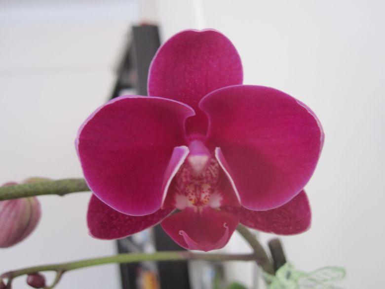 Pink Phal in bloom