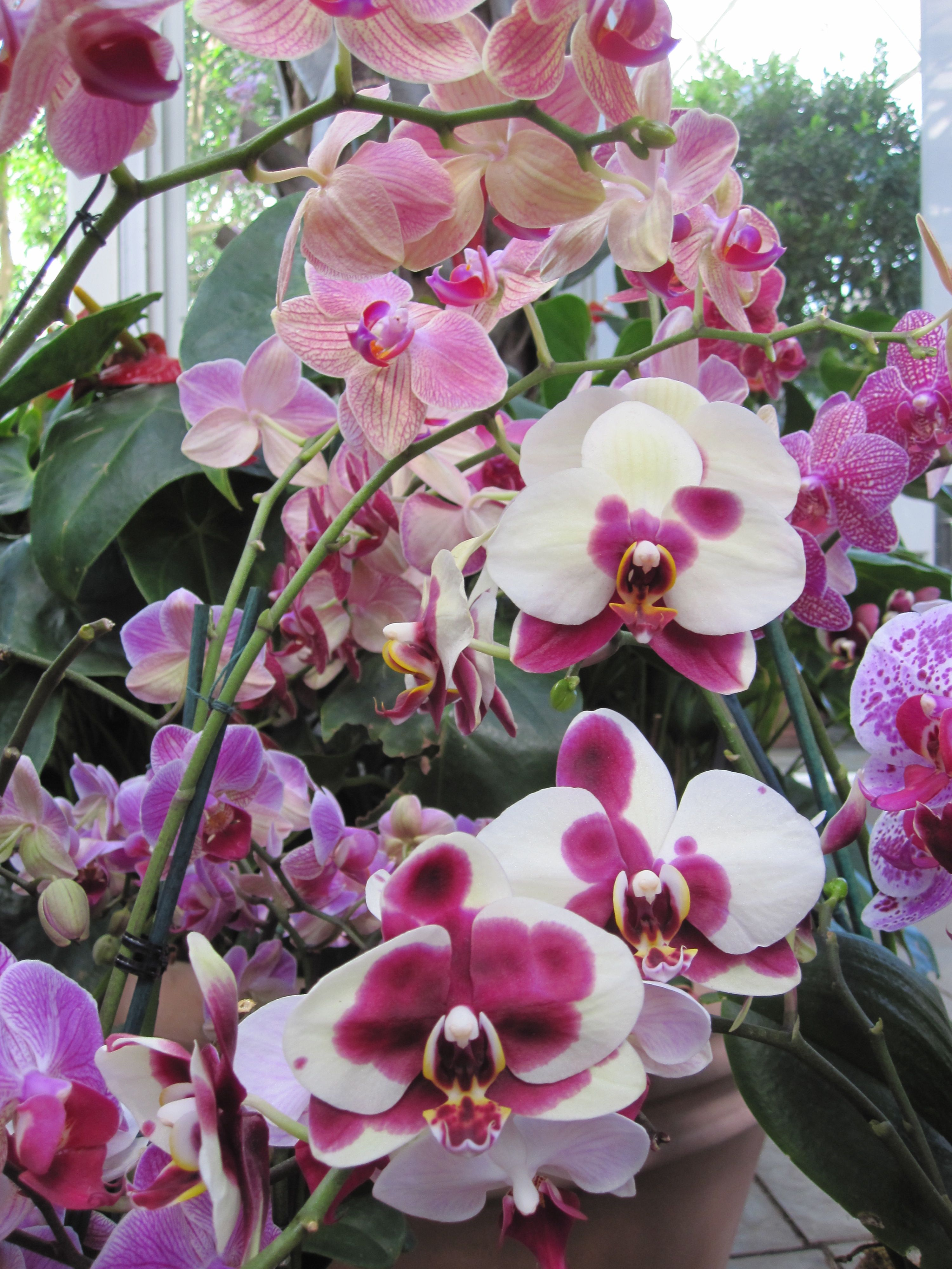 how to cut a phalaenopsis orchid spike brooklyn orchids. Black Bedroom Furniture Sets. Home Design Ideas