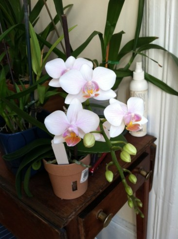 moth orchid blooms