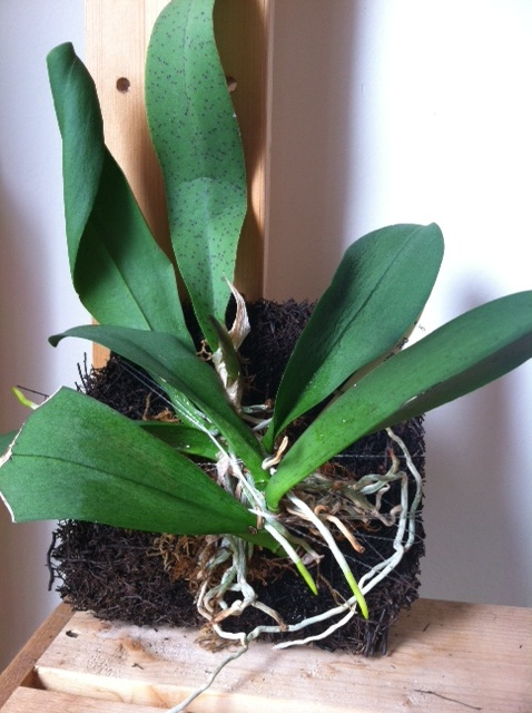 My first mounted orchid!