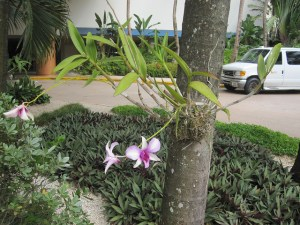 Dendrobium attached to a tree in San Juan, Puerto Rico