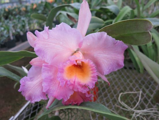 Pretty Pink Cattleya