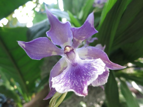 Not sure if this is an actual Zygopetalum, but it sure looks like one!