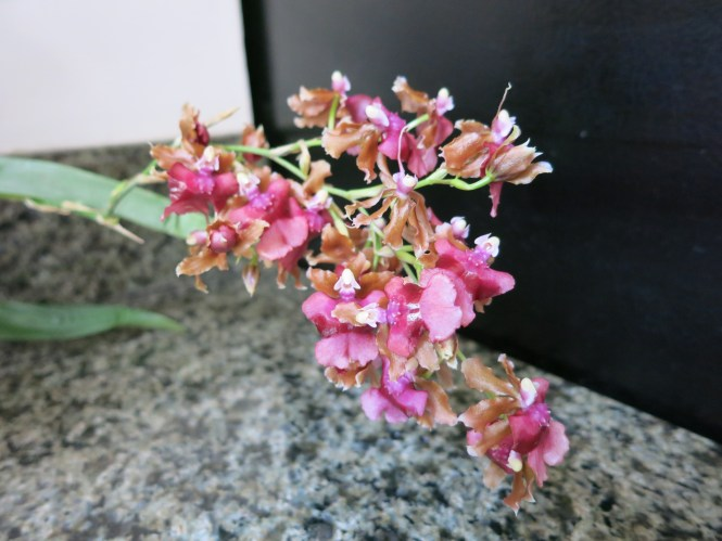 NOID Oncidium in bloom