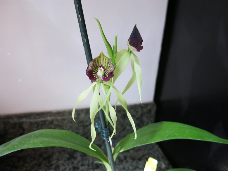 Encyclia cochleata in bloom