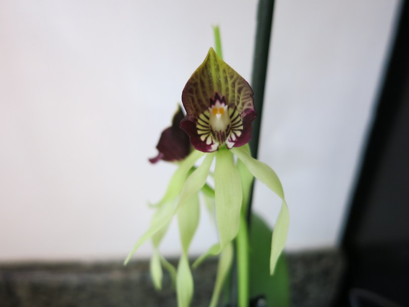 Encyclia cochleata flower