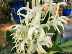 Dendrobium speciosum 'Plato'