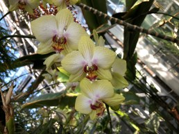 Pretty, pale yellow Phalaenopsis orchid