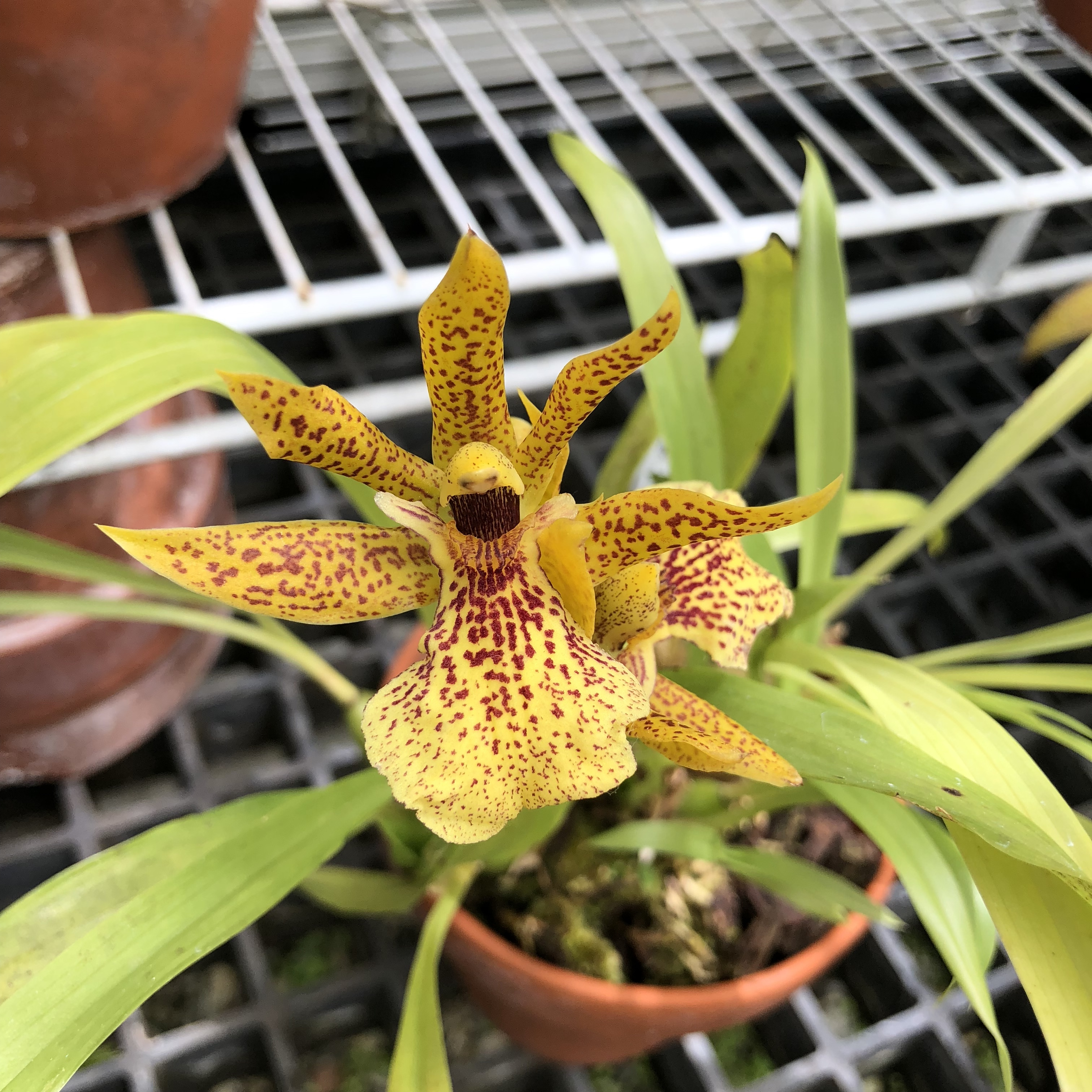 x Propetalum Mathina g. 'Elizabeth' (...not sure if there's more on the tag after that)