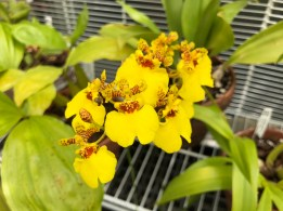 Some type of Oncidium