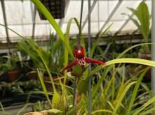 Masdevallia tenuifolia