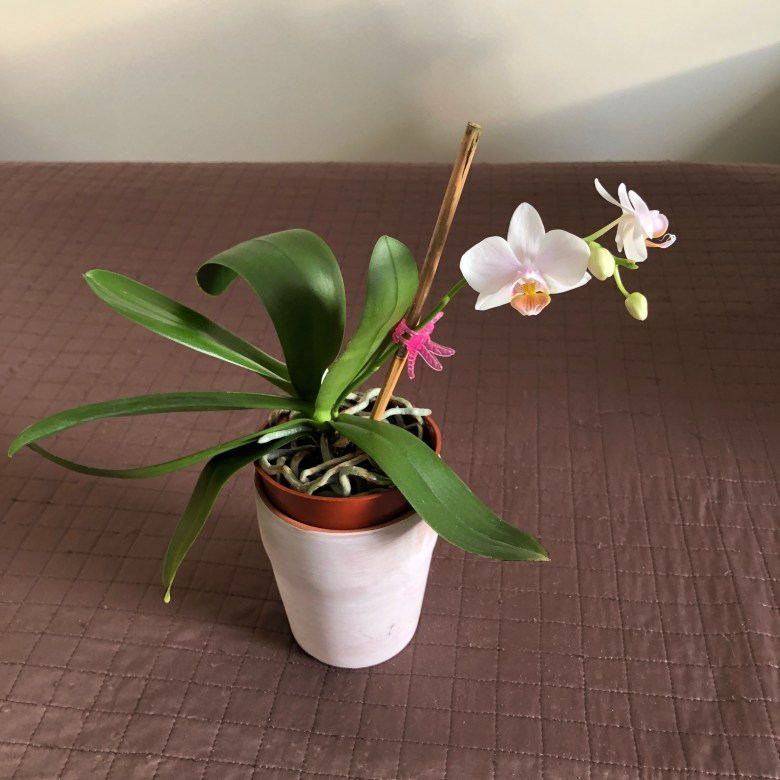 Trader Joe's Phal in bloom
