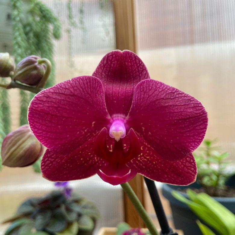 Red Phalaenopsis