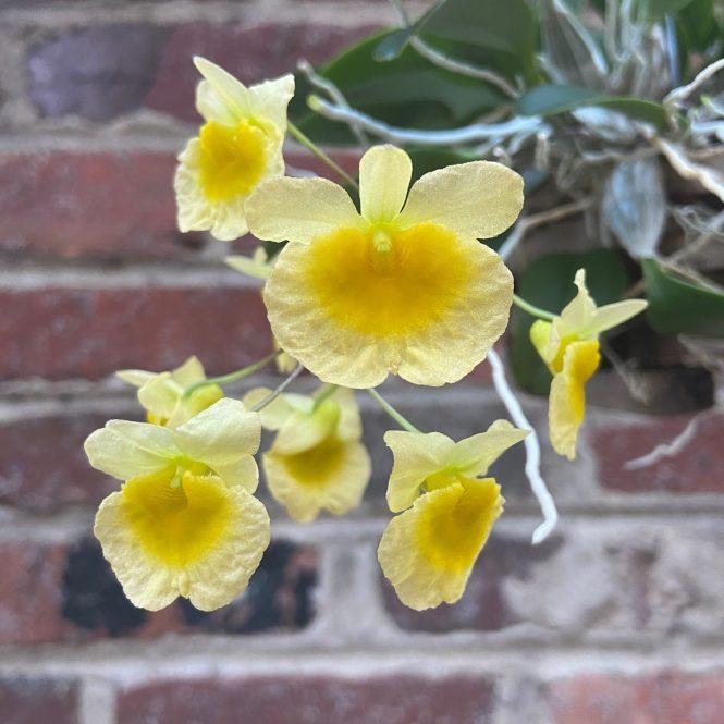 Dendrobium aggregatum blooms