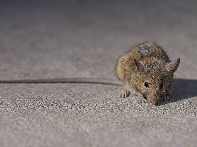 Prospect Heights has the city's highest number of complaints about rat sightings.