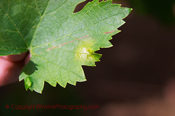 A vine leaf affected by mildiou