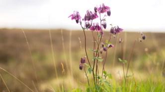 bogflower