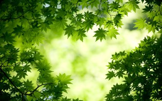 sycamore_canopy_wallpaper
