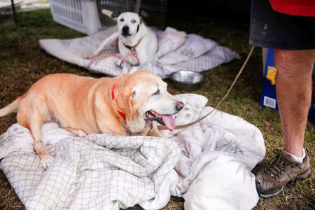 Eddie McLaren, of Kapoho, stands with two of his five dogs in his tents at a Red Cross evacuation center in Pahoa during ongoing eruptions of the Kilauea Volcano in Hawaii, U.S., May 15, 2018.