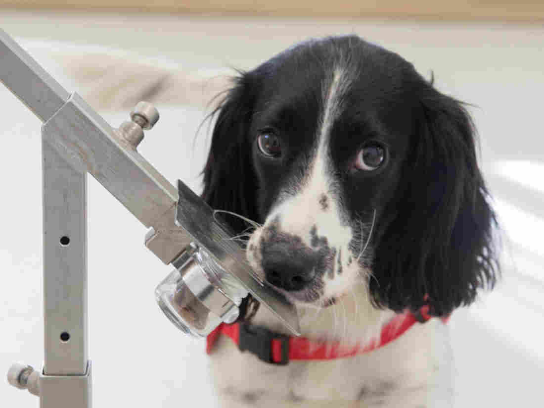 Freya, a springer spaniel, is in training to detect malaria parasites in sock samples taken from children in Gambia. Two canine cohorts were used in a study on malaria detection. (Durham University/Medical Detection Dogs/London School of Hygiene & Tropical Medicine)
