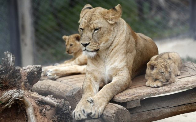 Two Barbary lion cubs with their mother Khalila rest in their enclosure at the zoo in Dvur Kralove, Czech Republic, Monday, July 8, 2019. Two Barbary lion cubs have been born in a Czech zoo, a welcome addition to a small surviving population of a rare majestic lion subspecies that has been extinct in the wild. A male and a female that have yet to be named were born on May 10 in the Dvur Kralove safari park. (AP Photo/Petr David Josek)