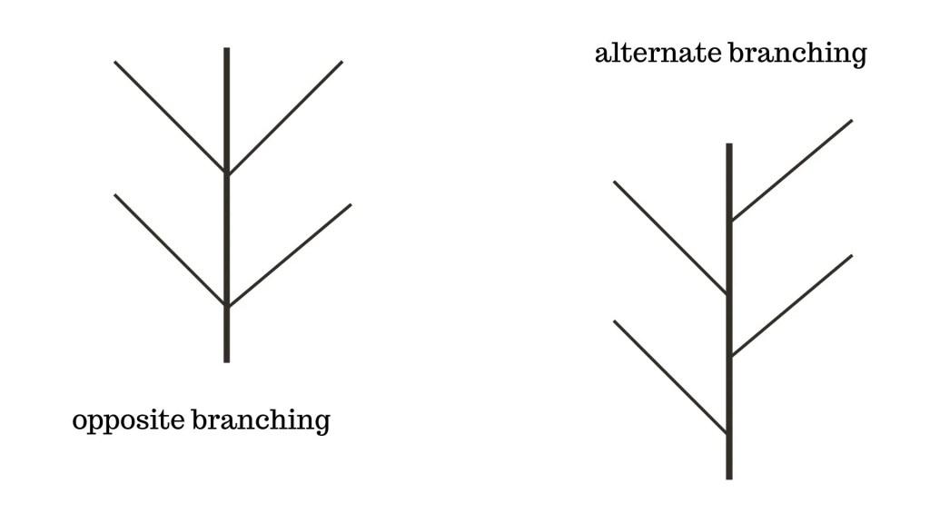 alternate or opposite branching on ash tree