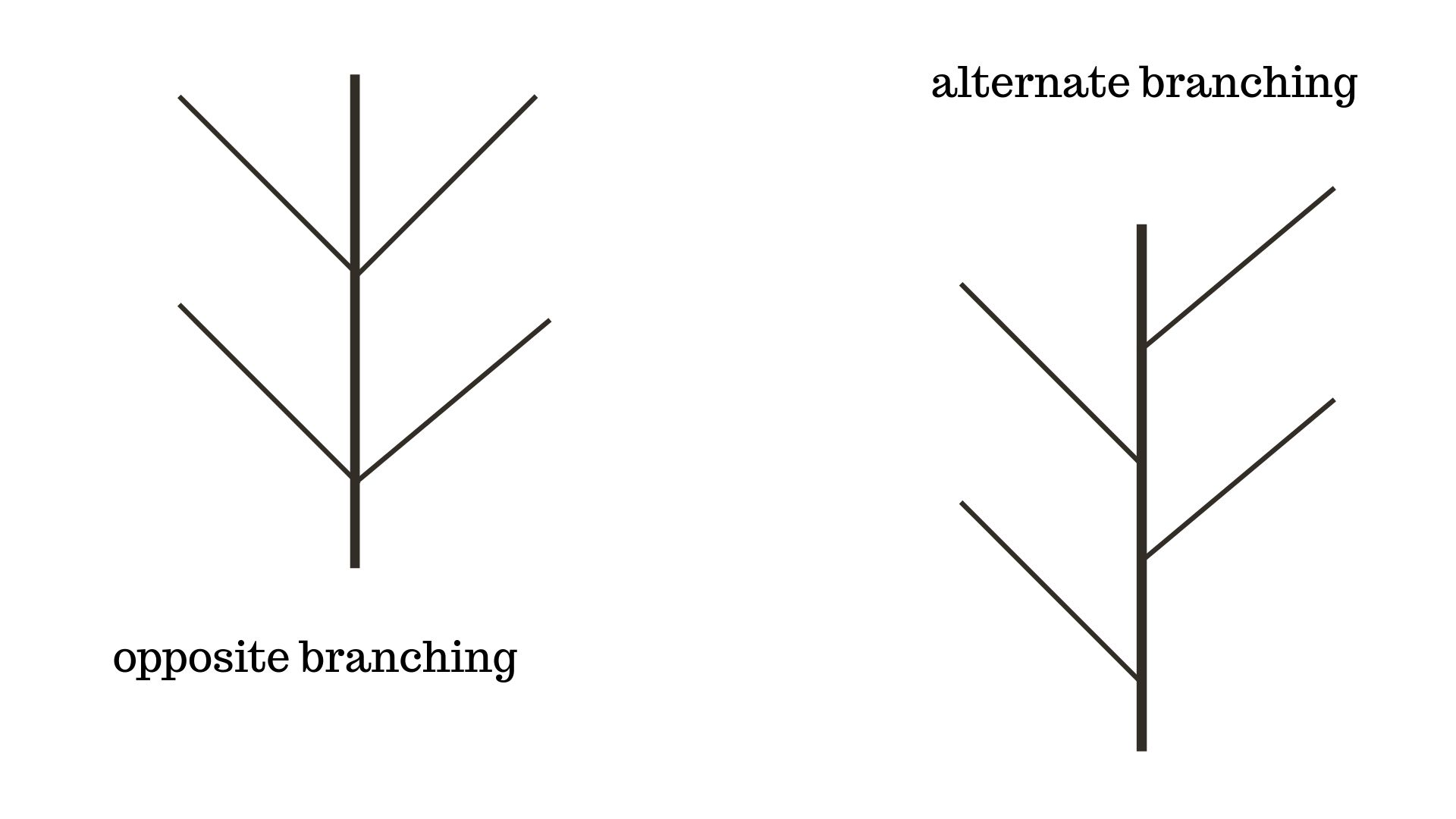Image for Does the tree have alternate branching (buds) or opposite branching (buds)?