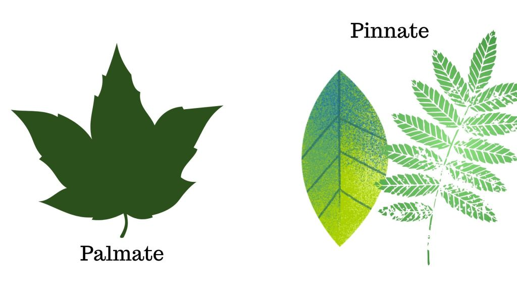 palmate or pinnate leaf shape to identify ash trees