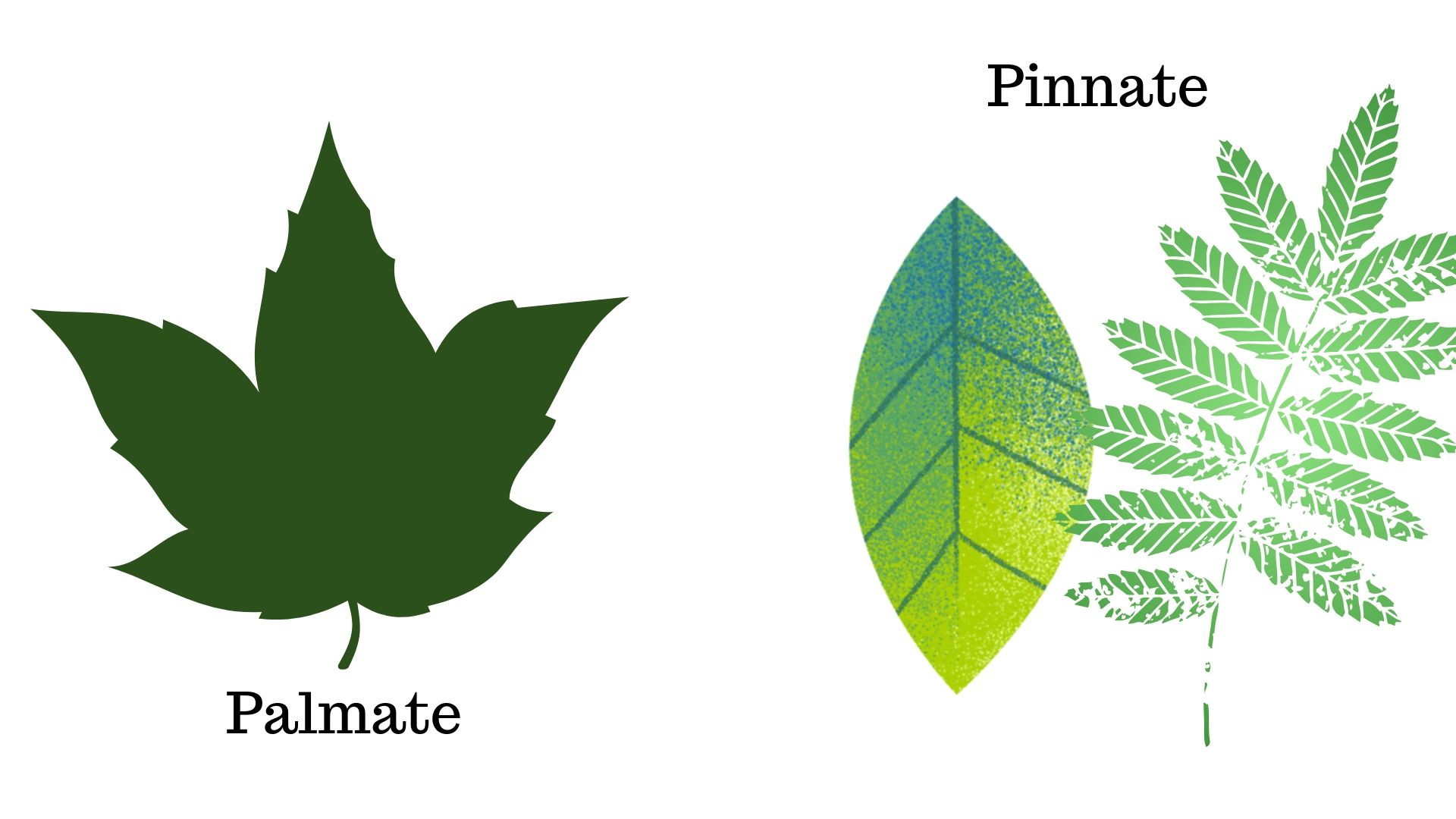 Image for Are the leaves palmate or pinnate?