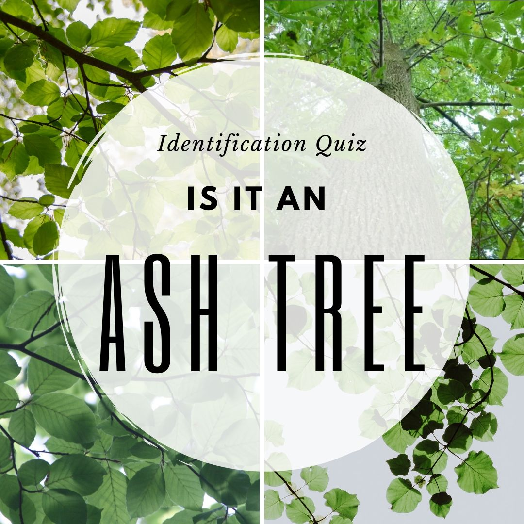 is it an ash tree identification quiz