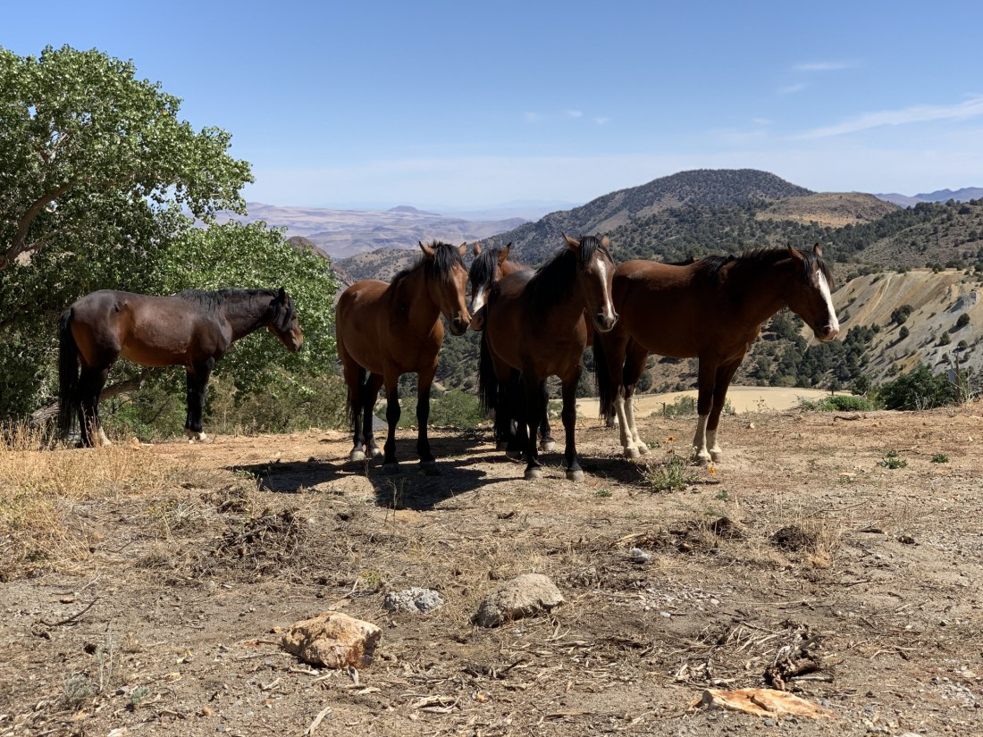 Wild Mustangs, Virginia City
