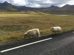 iceland-sheep