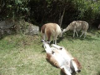 llamas-of-machu-picchu