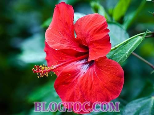 Uses and uses hibiscus flowers in hair beauty 4