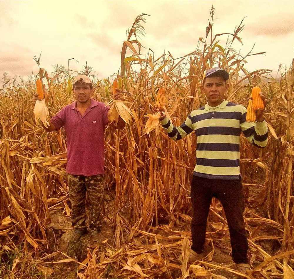 A staple in food for these Indigenous farmers, corn