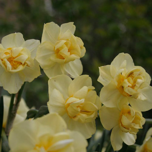 Dafauxdils photo by flickr user Zimpenfish