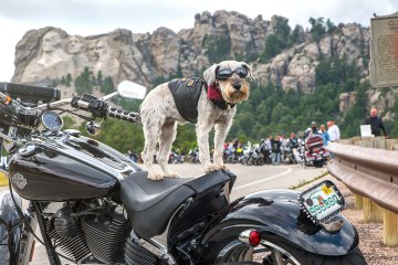 Sturgis dog on motorcycle