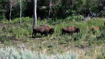 bison13
