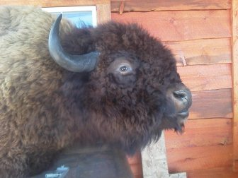 bison_closeup