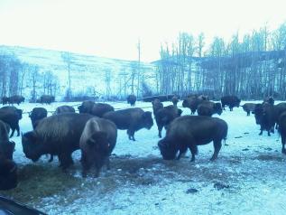 bison_snow3