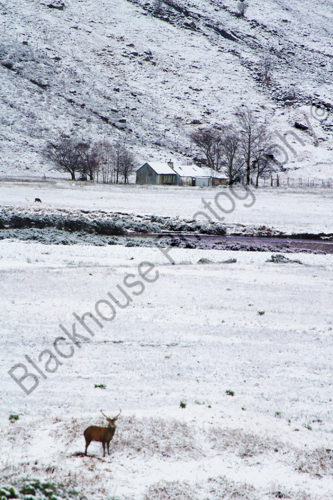 Blackhouse Photography Wild Stag Scottish Highlands