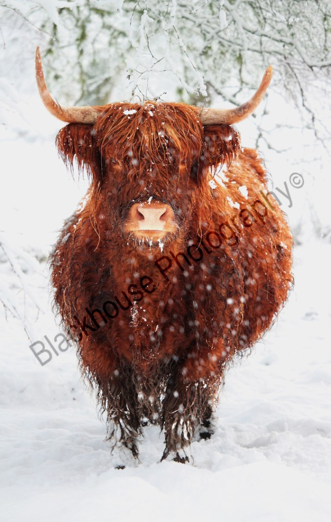 Blackhouse Photography Highland Cow in Snow