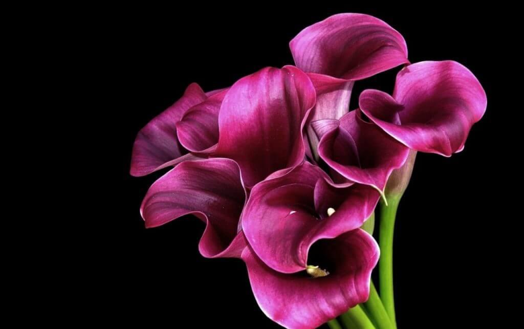 Каллы почему цветы смерти. Почему каллы называют цветами смерти