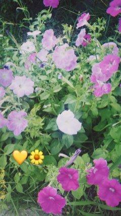 BLACKPINK Rose Instagram Story 30 July 2018 roses are rosie 2