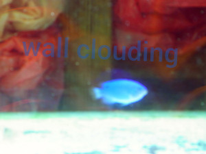 blue fish in tank with Wall Clouding written aboveit