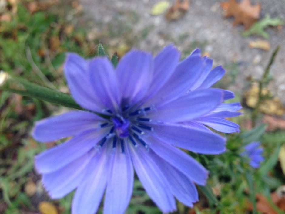 cornflower, original format, no filters or re-touching.