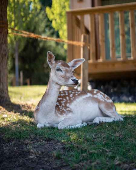 adorable fawn deer resting in courtyard